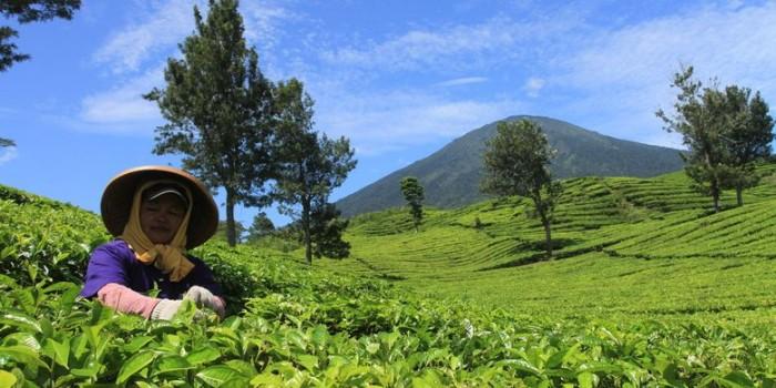 Manfaat Teh Daun Camellia